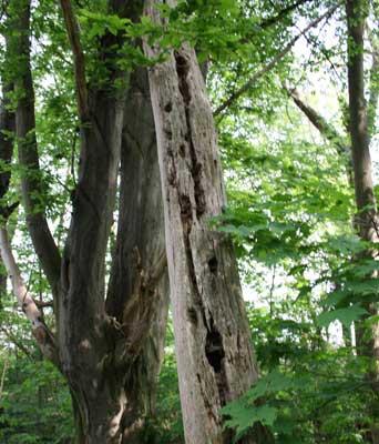 Viel Leben gibt es in toten Bäumen - Foto: B. Philippi