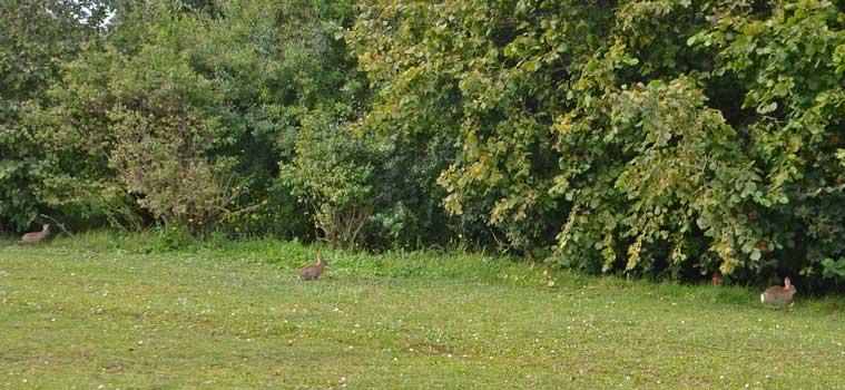 Auf einen Hasen legte der Schütze an - Foto: JPH/Symbolfoto